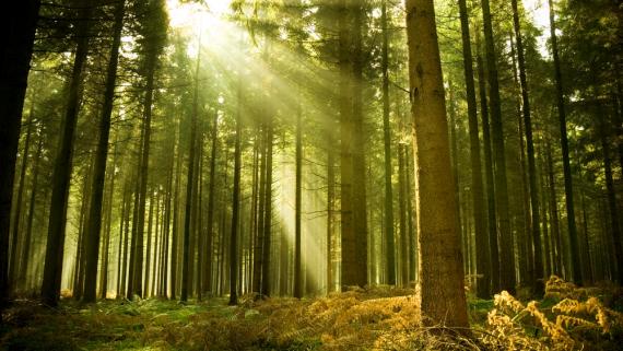 W 10 lat zasób drewna w polskich lasach wzrósł o 15%. Więcej przyrasta niż jest pozyskiwane.